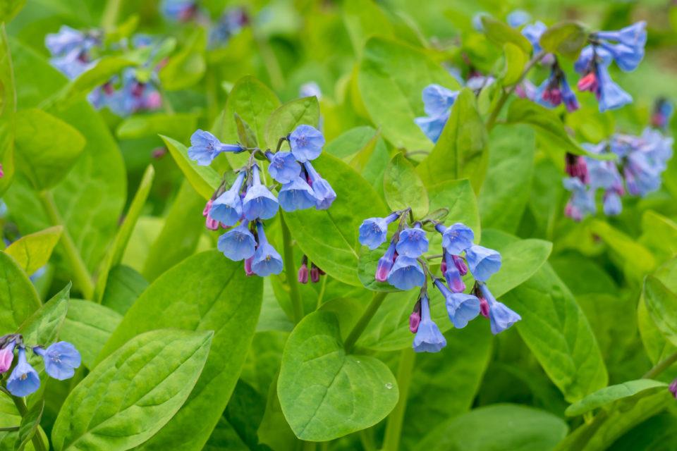 Virginia Bluebells in bloom